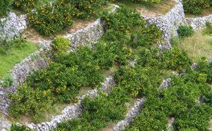 石垣の段畑に生えるミカン